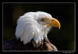 Pygargue à tête blanche - Bald Eagle