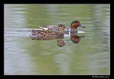 Sarcelles d'hiver - Green-winged Teal