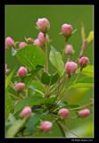 Cerisier de Pennsylvanie - Wild Red Cherry