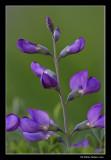 Faux indigo - Baptisia australis
