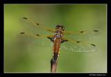 Libellula quadrimaculata - Four-spotted skimmer male (Libellule quadrimaculée)