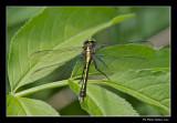 Gomphe épineux / Black-shouldered spinyleg / Dromogomphus spinosus