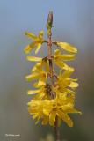 Forsythia (fleurs)