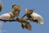Magnolia (bourgeons)