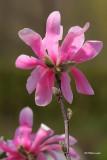 Magnolia (fleurs)