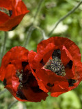 Red Poppies1843a