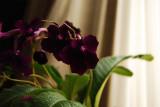 Streptocarpus2000VI+