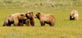 A Grizzly Gathering
