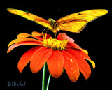 Longwing Butterflies