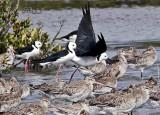New Zealand Shorebirds