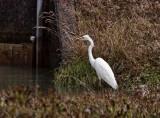 Dam Egret