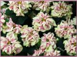 Fancy Poinsettia 2009