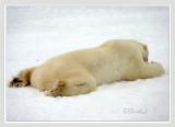 Living Polar Bear Rug