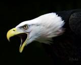 Eagle Crying