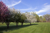 Crab Apple Trees