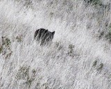 Black Bear during the drought of 2003