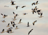Snow Geese Just Before Dusk