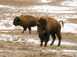 Mammoth Bison