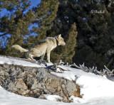 A Female Wolf