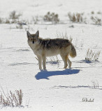Coyote Mid Afternoon