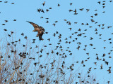 Bald eagle (immature) and Starlings