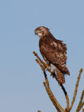 Young redtailed hawk