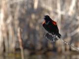 Red-winged Blackbird establishing a territory
