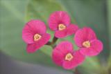 Macro Pink 2.jpg