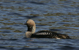 Divers (Loons)