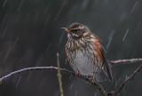 Redwing in the rain!