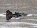 Leatherback Turtle in the River Forth, Fife