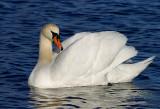 Wildfowl (Ducks, Geese & Swans)