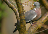 Pigeons & Doves