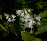 White Bells. The same as Bluebells only white.