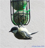 Young Great Tit on the feeder.
