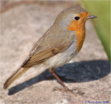 Friendly Robin.