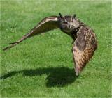 Eagle Owl in flight 1.