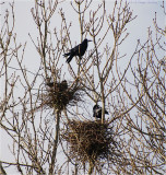 Nesting Rooks.