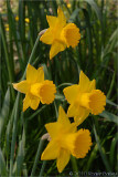 A quartet of Daffodils.