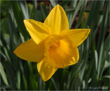 Last of the Daffodils.