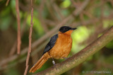 Snowy - crowned Robin - Chat.