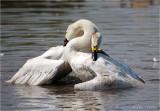 Berwick Swans.