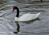 Black neck Swan.