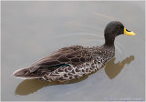 South African Yellow billed Duck