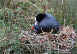 Coot on nest with chick.