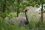 Eurasian (Common) Crane.