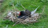 Moorhen on Nest.
