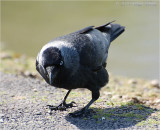 Jackdaw any chance of a free meal.