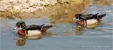 A pair of Wood Duck Males.