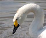 Berwick Swan